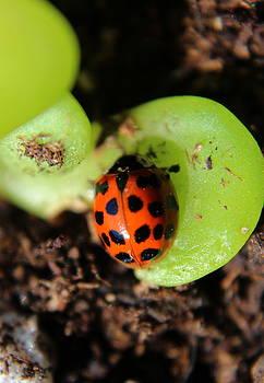 Ladybug by Maureen Jordan