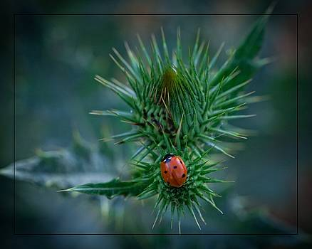 Ladybug on Thistle by Janice Bennett