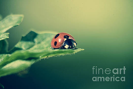 Marc Daly - Ladybug perched on leaf