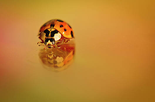 Christine Kapler - Ladybug walking on smooth surface.