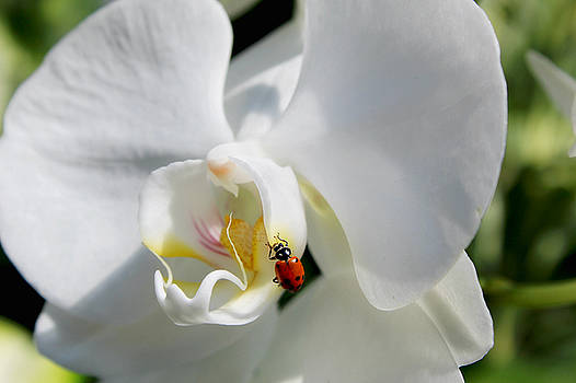 Ladybug's Orchid by Denise Irving