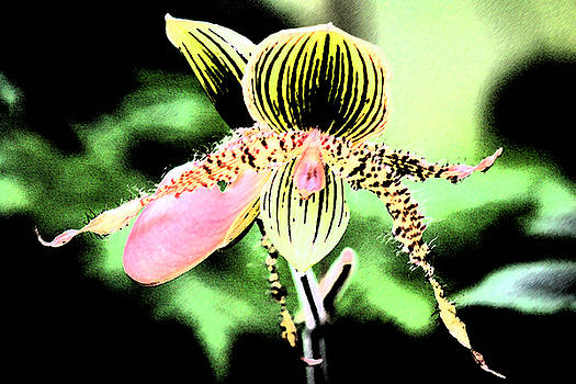 Lady's Slipper Orchid by Nanette Hert