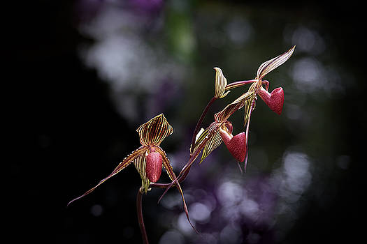 Lady's Slipper Orchids by Zina Zinchik
