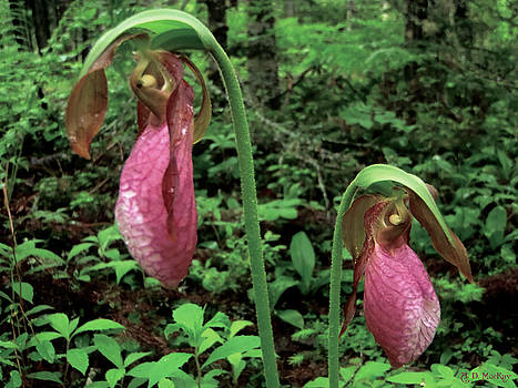 Lady's Slippers Dancing by Celtic Artist Angela Dawn MacKay