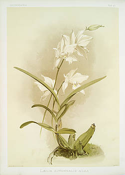 Ricky Barnard - Laelia Autumnalis Alba