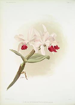 Ricky Barnard - Laelia Hybrida Behrensiana