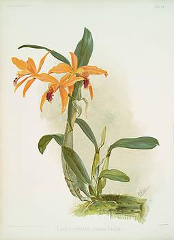 Ricky Barnard - Laelio Cattleya Hybrida Phoebe