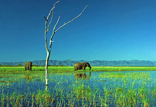 Dennis Cox - Lake Kariba Elephants