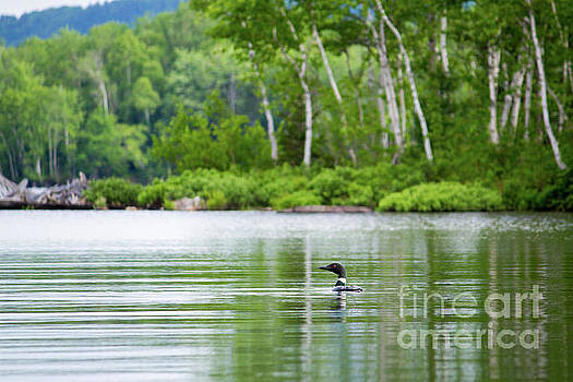 Lake Loon by Denise Lilly