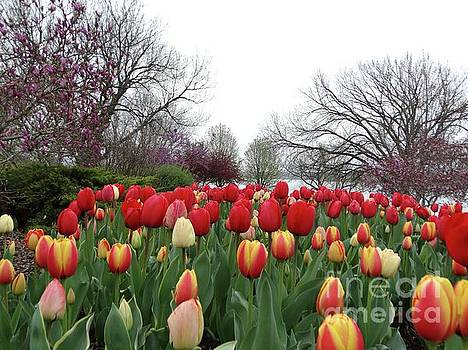 Lakeside Tulips in Spring by Rebecca Overton