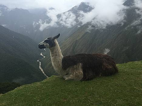 Lama on Mountain by Alex Young