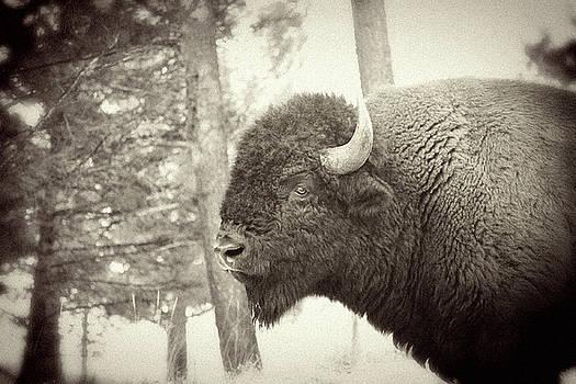 Lamar Valley Bison by Mike Buchheit