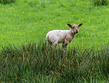 Lamb Alone In The Tall Grass by Scott Lyons