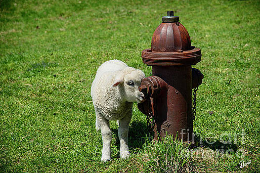Lamb and Fire Hydrant by Alana Ranney