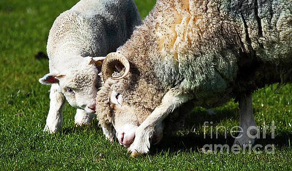 Simon Bratt Photography LRPS - Lamb and mother sheep bonding