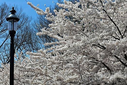 Andrew Davis - Lamp Post Next to White Cherry Blossom Tree