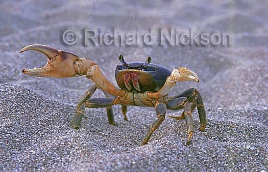 Land Crab by Richard Nickson