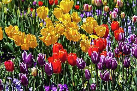 Land of Tulips by David Millenheft