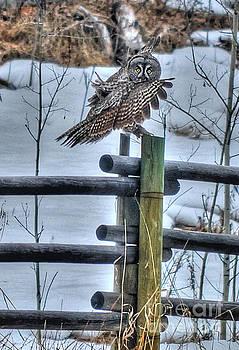 Landing Great Grey Owl by Skye Ryan-Evans