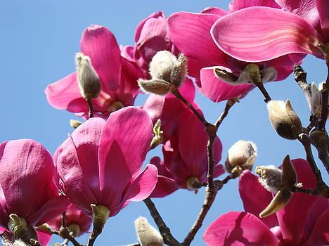 Baslee Troutman - Landscape Pink Magnolia Flowers 46 Blue Sky Magnolia Tree