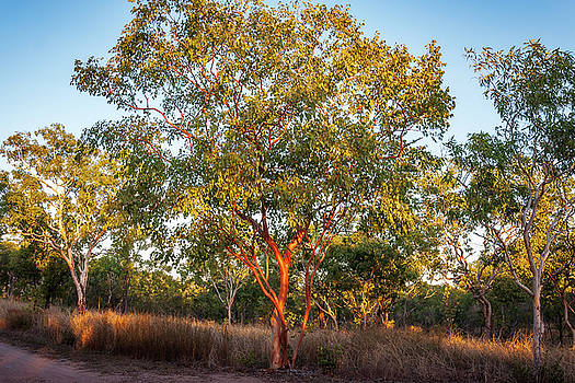 Landscape with red skin Australian gum trees by Daniela Constantinescu