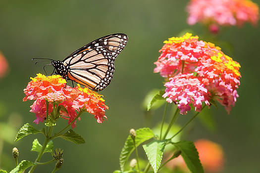 Jill Lang - Lantana Flowers and a Butterfly
