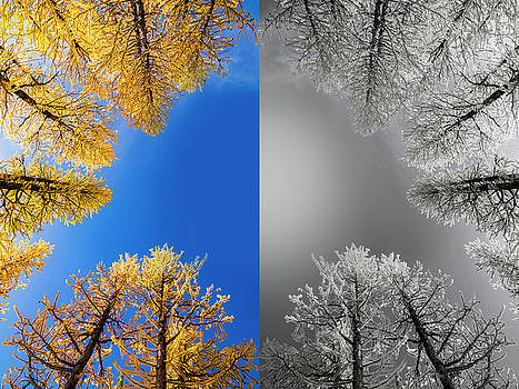 Pelo Blanco Photo - Larches Color to Black and White Reflection