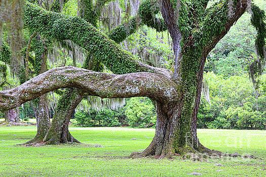 Chuck Kuhn - Large Branch Spanish Moss Trees
