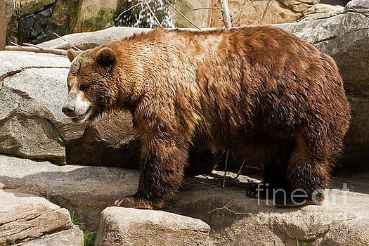 Large Brown Bear by Jill Lang