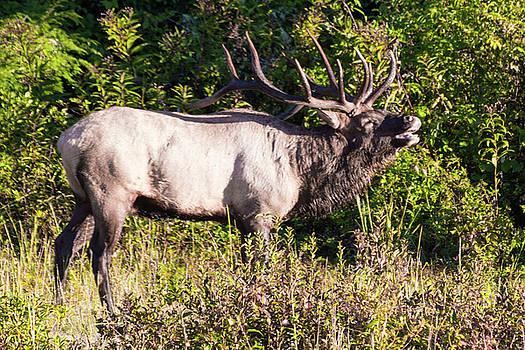 Large Bull Elk Bugling by D K Wall