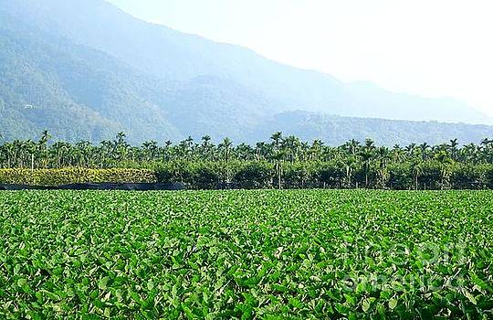 Large Field with Taro Plants by Yali Shi