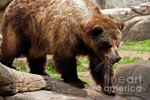 Large Grizzly Bear by Jill Lang