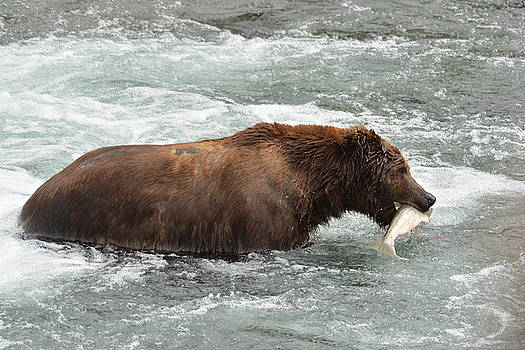 Patricia Twardzik - Large Grizzly Bear with a Salmon Catch