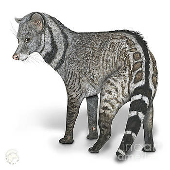 Large Indian Civet Viverra zibetha - Grande civette - gran civeta india - Indische Zibetkatze by Urft Valley Art