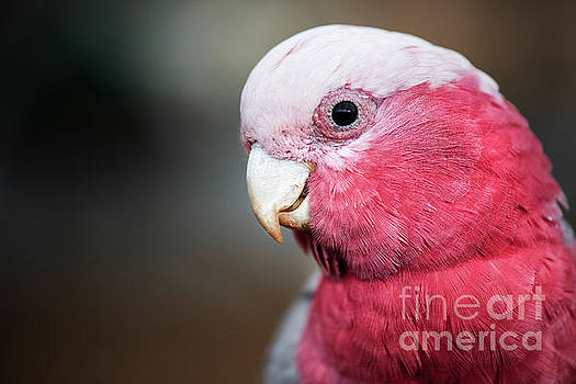 Large pink and grey Galah. by Rob D
