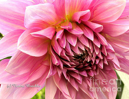 Large Pink Dahlia  by Norma Boeckler