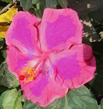 Large pink Hibiscus by Ashish Agarwal