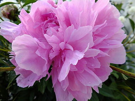 Cindy Treger - Shades of Pink - Sarah Bernhardt Double Peony
