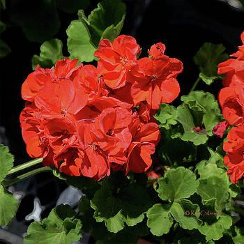 Kae Cheatham - Large Red Begonia Bloom