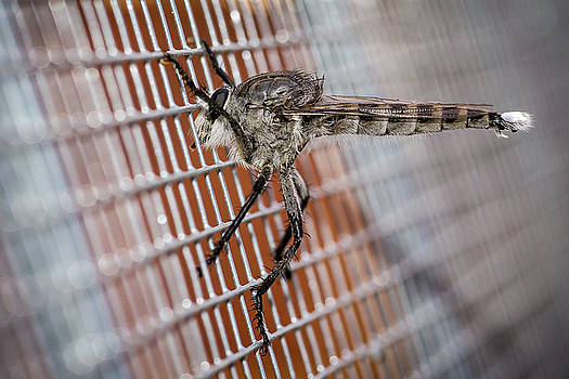 Large Robber Fly  by John Brink