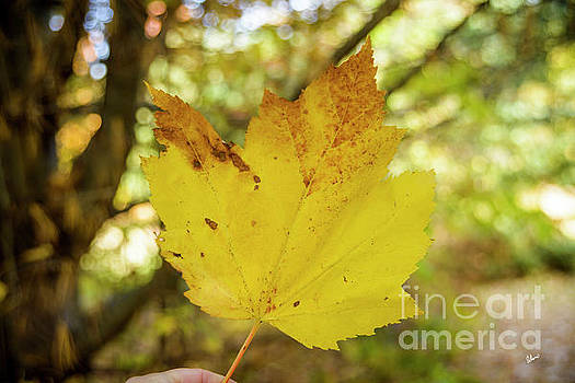 Large Sugar Maple Leaf by Alana Ranney