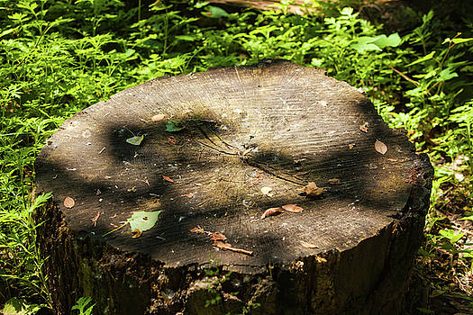 Large Trunk in Woods by Walt Stoneburner
