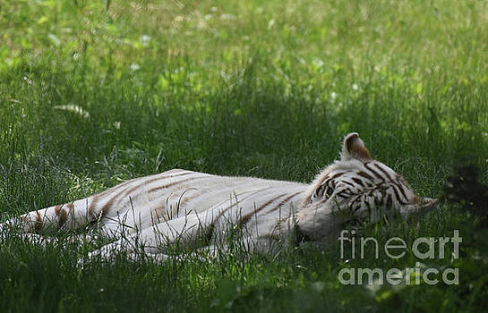 Large White Bengal Tiger Laying in the Grass by DejaVu Designs