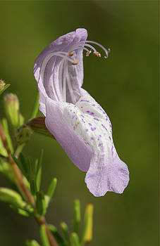 Largeflower False Rosemary #2 by Paul Rebmann