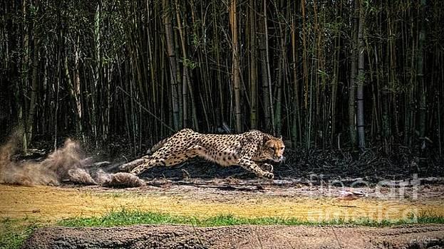 Laser Focus - Cheetah by Jan Mulherin