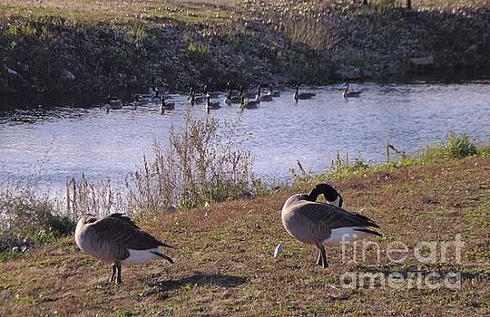 Last Geese Of Autumn         Mishawaka Riverwalk           Indiana by Rory Cubel