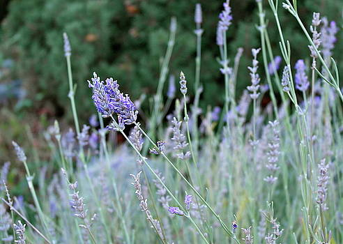 Last Lavender of Fall by Michele Myers