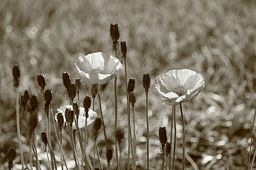 Last Poppies Monochrome by Kimberly VanNostrand