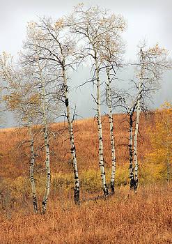 Late Autumn Aspens by David Kocherhans