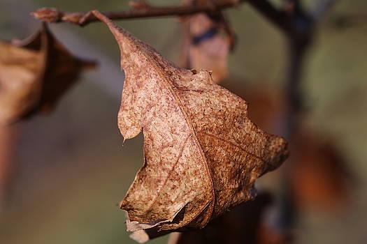 Late Winter Oak Leaf  by David Hand